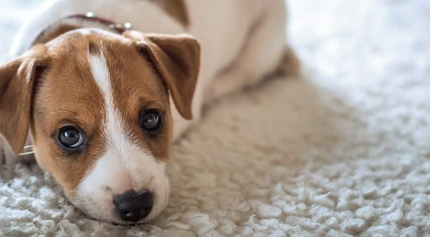 Pet Urine Treatment For Carpeting, Upholstery And Mattresses