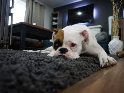 How To Get Pet Odor Out Of Carpeting